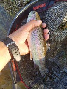Rainbow Trout — Olivier fiching treize