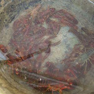 Spinycheek Crayfish — AeFKa Fr