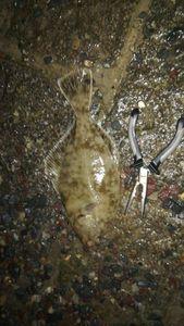 European Flounder — Alain Mangi