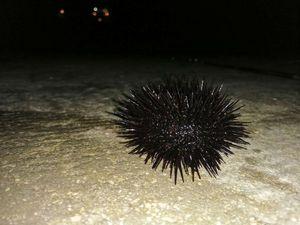 Rock Sea Urchin — Adrien fishingriverandsea