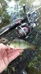 European Perch — Fred Fishing