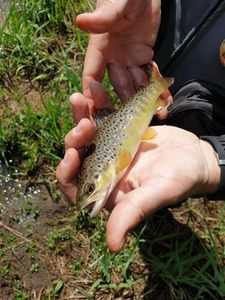 Brown Trout — Nicolas Delage