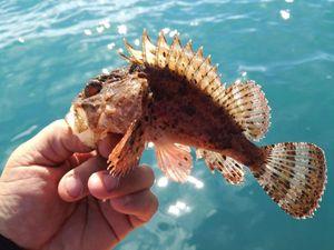 Brown Scorpionfish — Michael Naudin