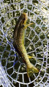 Brown Trout — Charles Gille