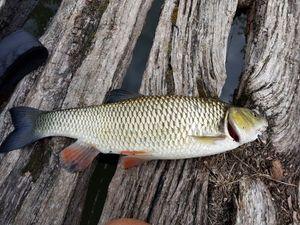 Chub — Kenichi Hajime no Fishing