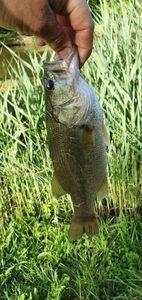 Smallmouth Bass — Clément Bobet