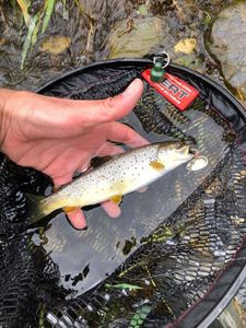 Brown Trout — Toto Rns