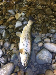 Brown Trout — Alexandre Laclie
