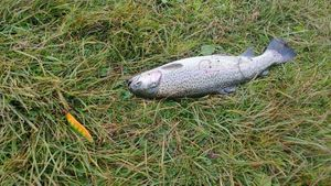 Rainbow Trout — Thomas D.