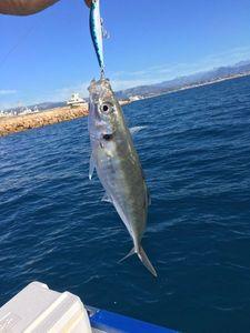 Mediterranean Horse Mackerel — Cedric surgelés