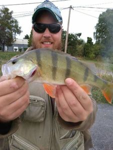 European Perch — Goyom Elwood