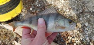 European Perch — Christophe Sturtzer