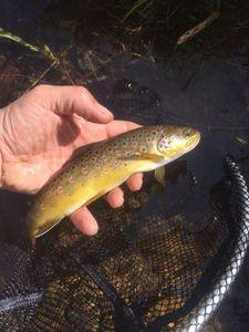 Brown Trout — Jul Weigart