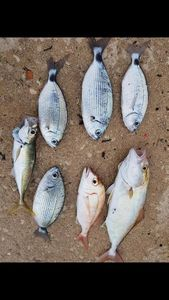Saddled Seabream — Sebastien Fisher