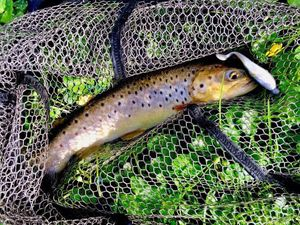 Brown Trout — Arnaud Combeuil