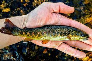 Brown Trout — Alban Bonnefond