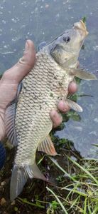 Common Carp — Pike Finder