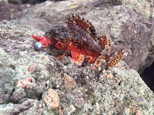 Brown Scorpionfish — Vincent Leduc