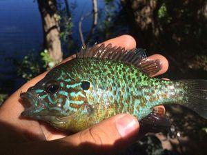 Green Sunfish — Fishing Porquerolles