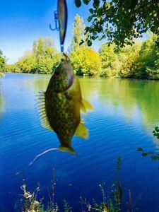 Green Sunfish — Johan Lefebvre