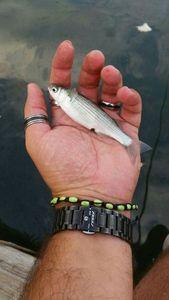 Mulet Lippu (Muge) — Scary Fishing