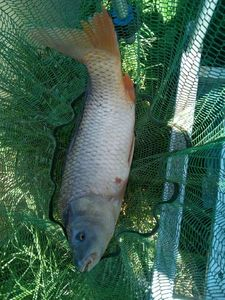 Common Carp — Gilles Rageade