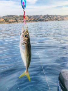 Mediterranean Horse Mackerel — Benny Heat