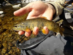 Brown Trout — Corentin Duguay