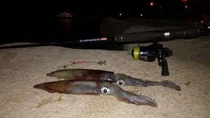 European Squid — Matys Pugliesi