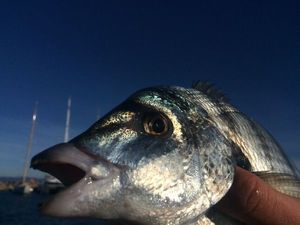Common Two-banded Seabream — Fishing Porquerolles