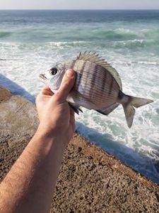 White Seabream — Ximun  Denis