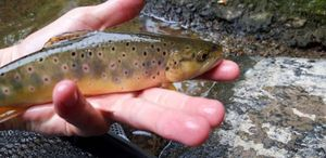 Brown Trout — Loïc Saucez