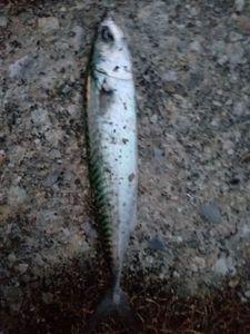 Mackerel — Raphaël kaz