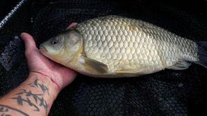 Crucian Carp — Mich  Pêche