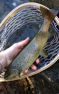 Brown Trout — Cyril Frances