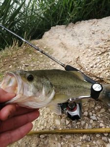 Largemouth Bass — Adrien fishingriverandsea