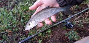 Common Dace — Jeremy BARRAGAN