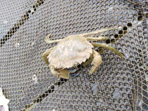 Common Shore Crab (Green Crab) — Clément Prince