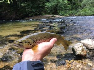 Brown Trout — Franck Recamier