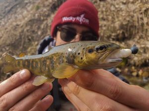 Brown Trout — Sacha Bosman Fishing