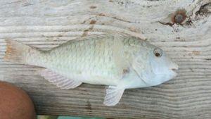 poisson perroquet — Nicolas Bloquet