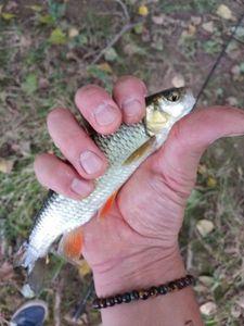 Chub — Antho Toteamfishing