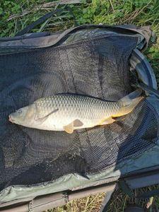 Common Carp — Thierry Maury
