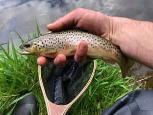 Brown Trout — Nicolas Louis