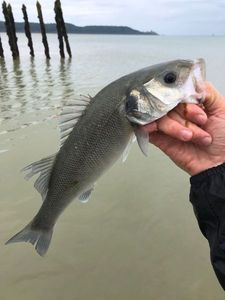 European Bass — Guillaume Alibert