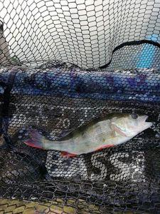European Perch — Judicael Linsart