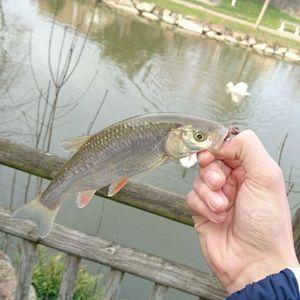 Chub — Megama Fishing