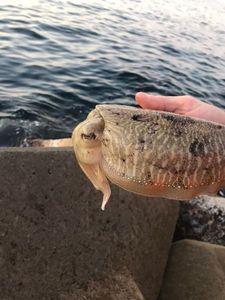 Common Cuttlefish — Dam's s