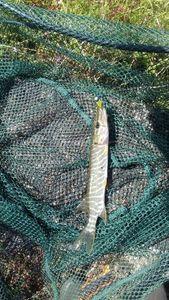 Northern Pike — Thomass Fishing