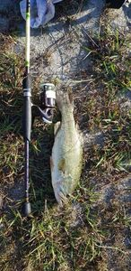 Largemouth Bass — Florimond  Guigneau